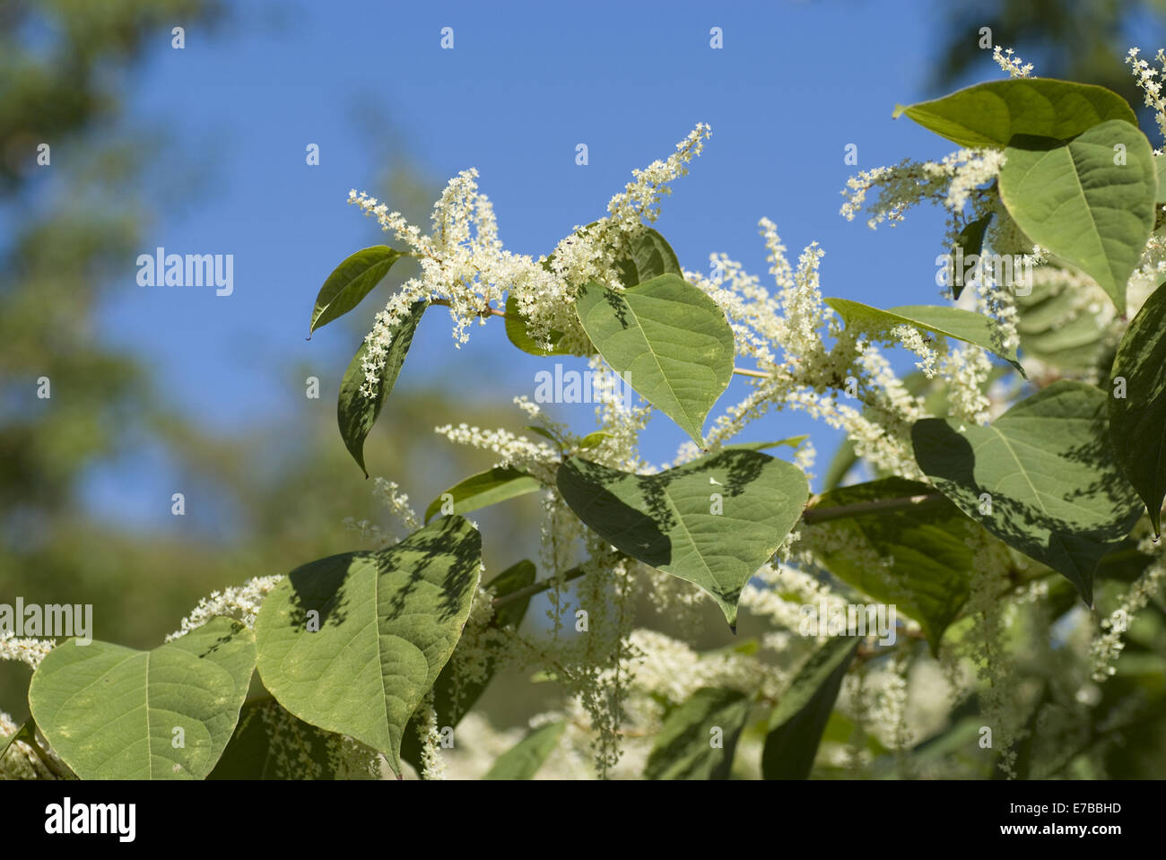 japanese knotweed, fallopia japonica Stock Photo