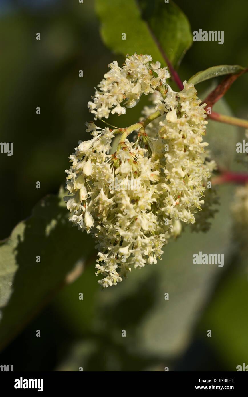 giant knotweed, fallopia sachalinensis - Stock Image