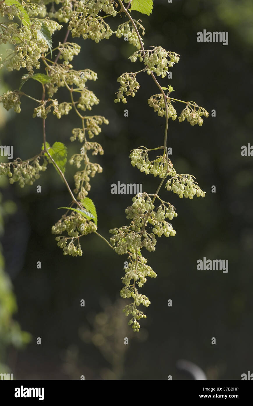 common hop, humulus lupulus, male blossom - Stock Image