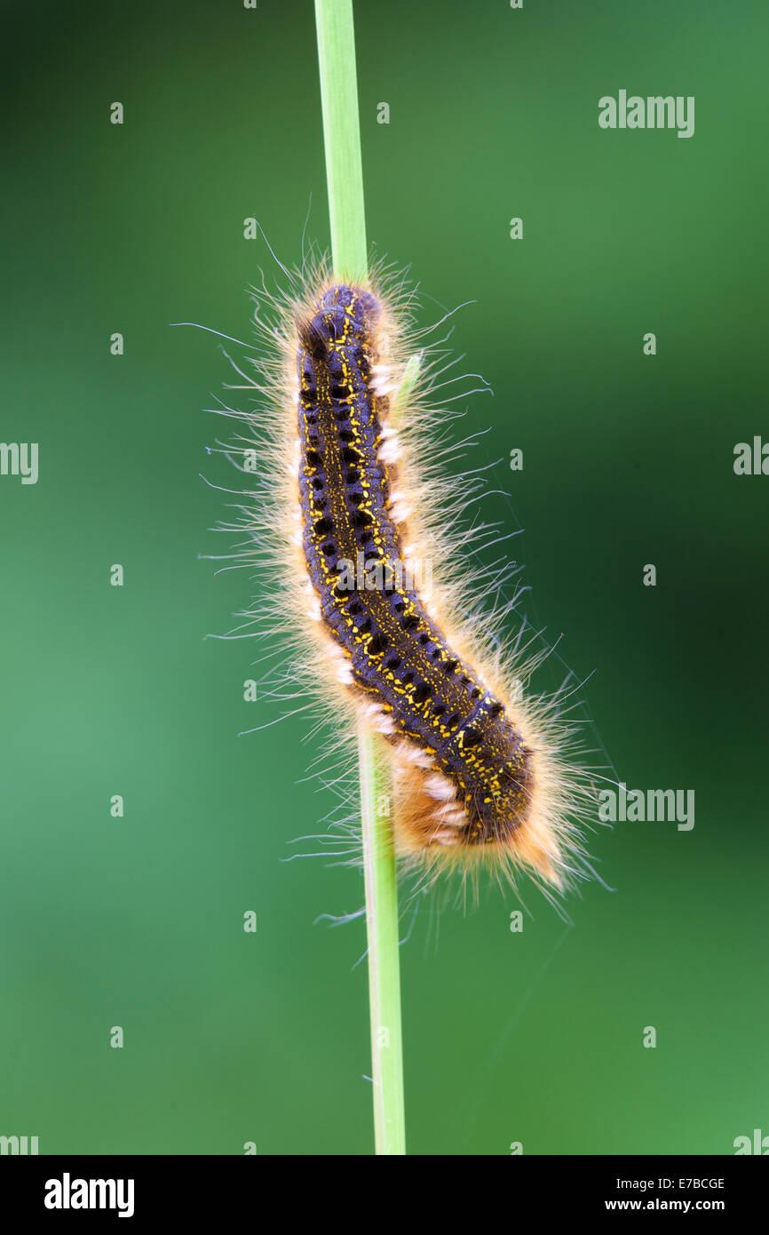 Drinker moth caterpillar - Stock Image