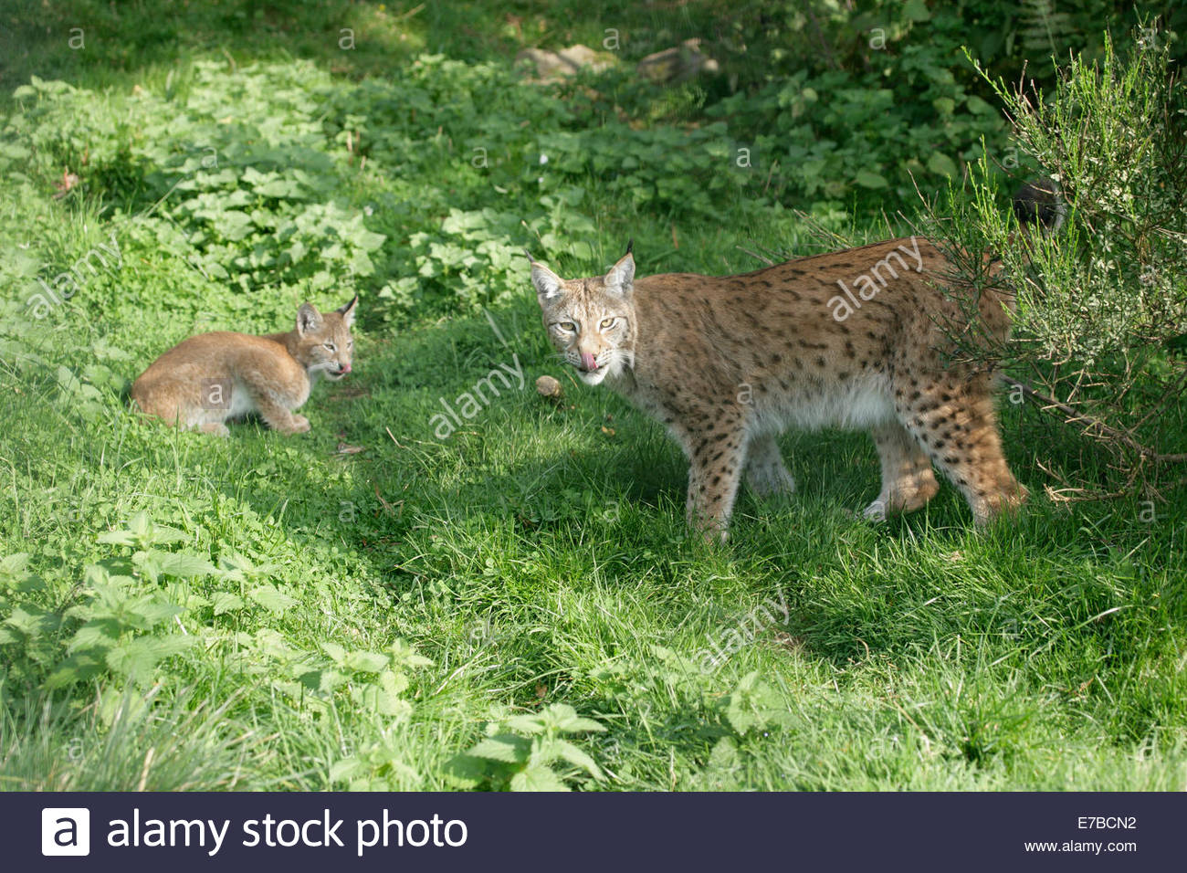 Kincraig, Kingussie, Highlands, UK. 12th September 2014. Mother Lynx and her cub lick their lips after an enjoyable - Stock Image