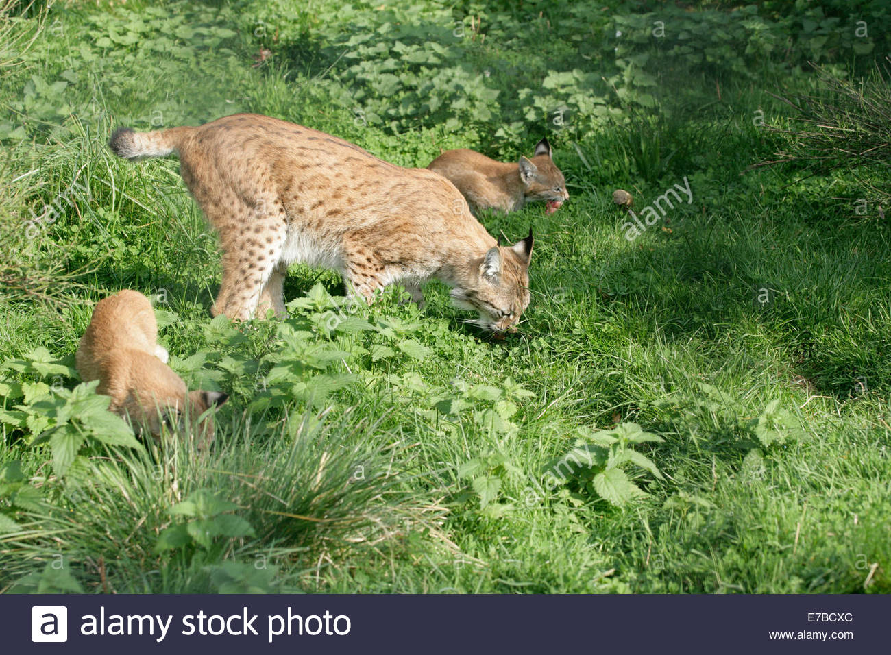 Kincraig, Kingussie, Highlands, UK. 12th September 2014. Mother Lynx and her cubs sniffing out breakfast together. - Stock Image