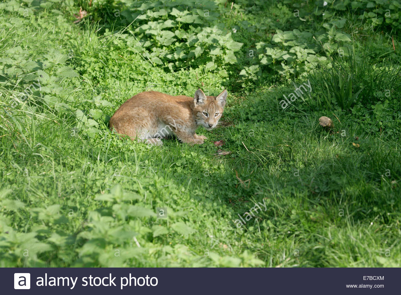 Kincraig, Kingussie, Highlands, UK. 12th September 2014. Lynx cub crouching in the early morning sunshine. Northern - Stock Image