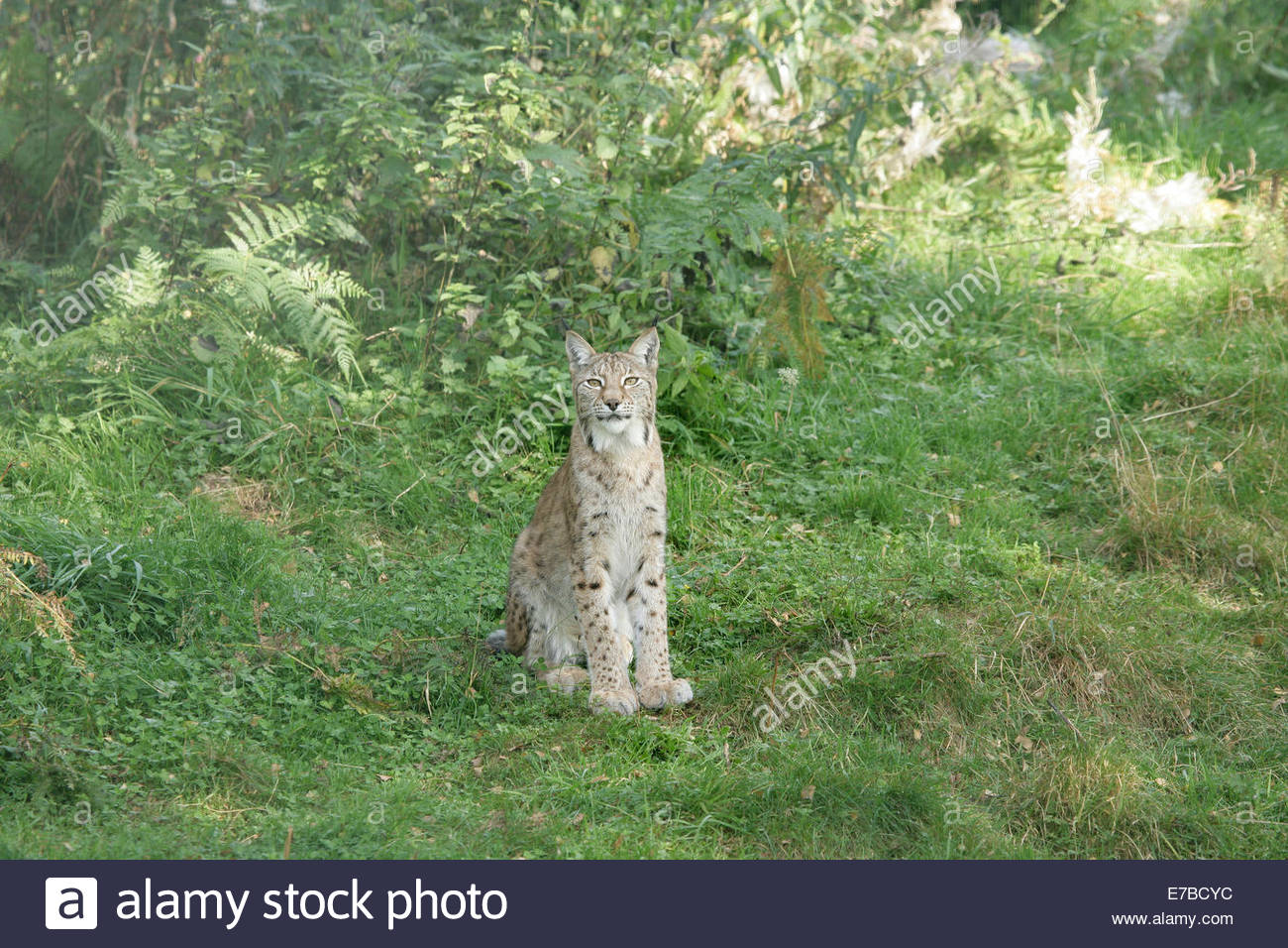 Kincraig, Kingussie, Highlands, UK. 12th September 2014. Proud mum Dimma makes sure it's safe for her cubs to come - Stock Image