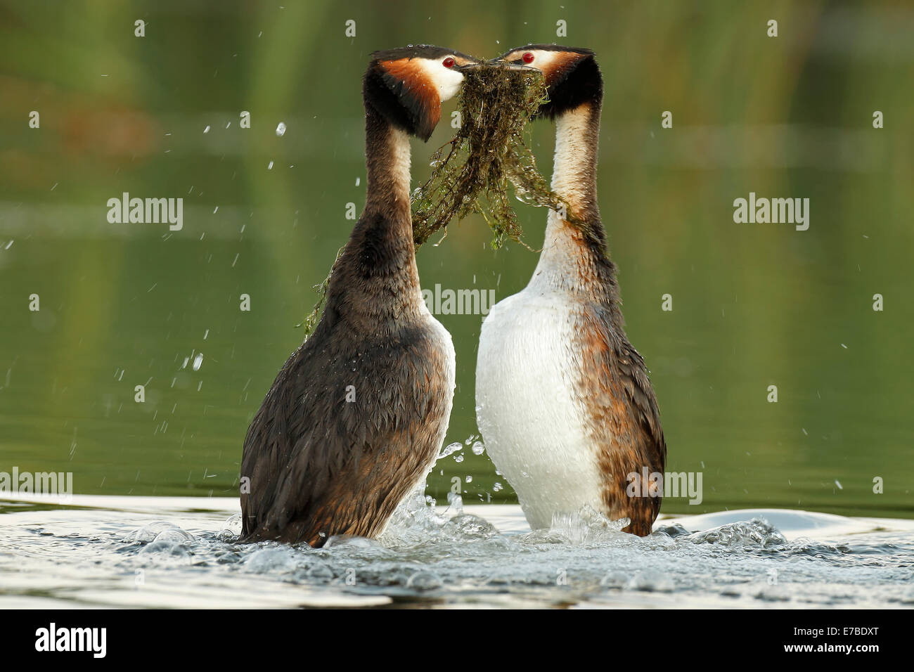 Great Crested Grebes (Podiceps cristatus), male and female performing the courtship dance with nesting material - Stock Image