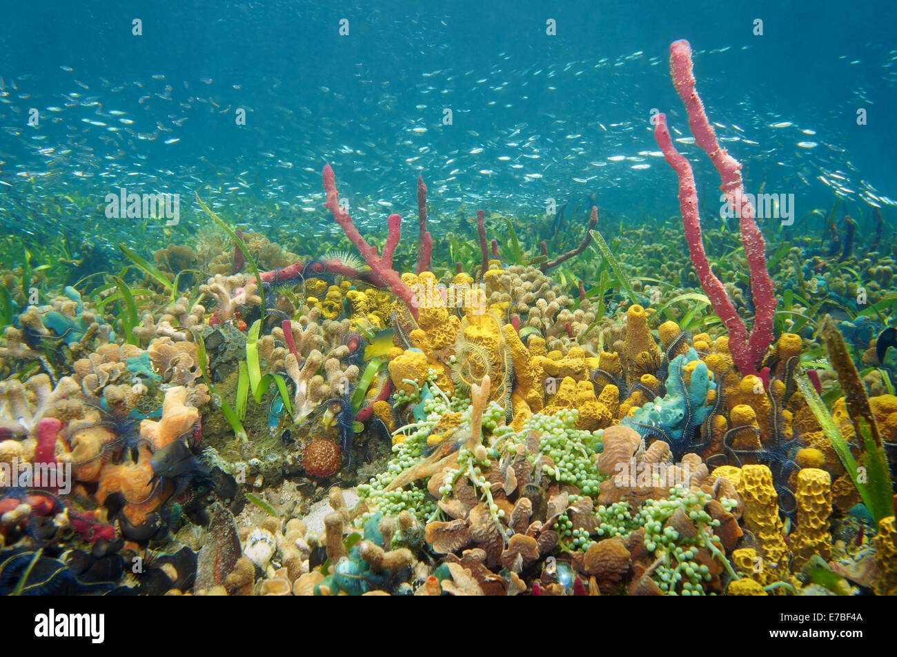 thriving and colorful underwater life with sea sponges, corals and shoal of small fish, Caribbean sea, Colombia - Stock Image