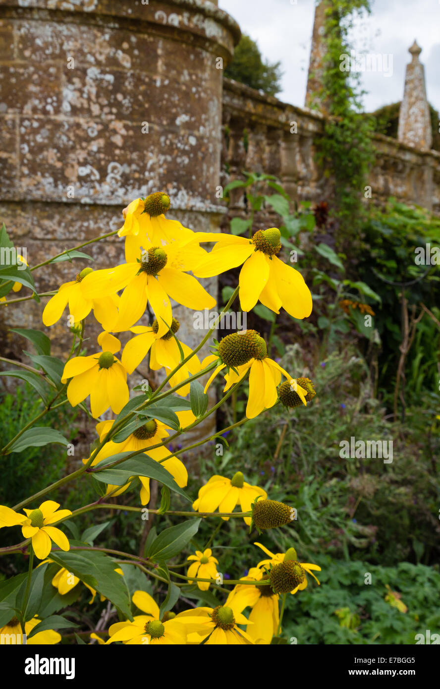 Showy yellow flowers of Rudbeckia Herbstsonne in the perennial border at Montacute House in Somerset UK - Stock Image