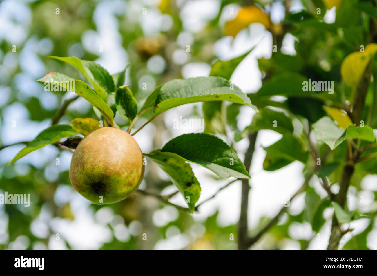 Bramley apple growing on a tree in a County Armagh orchard - Stock Image