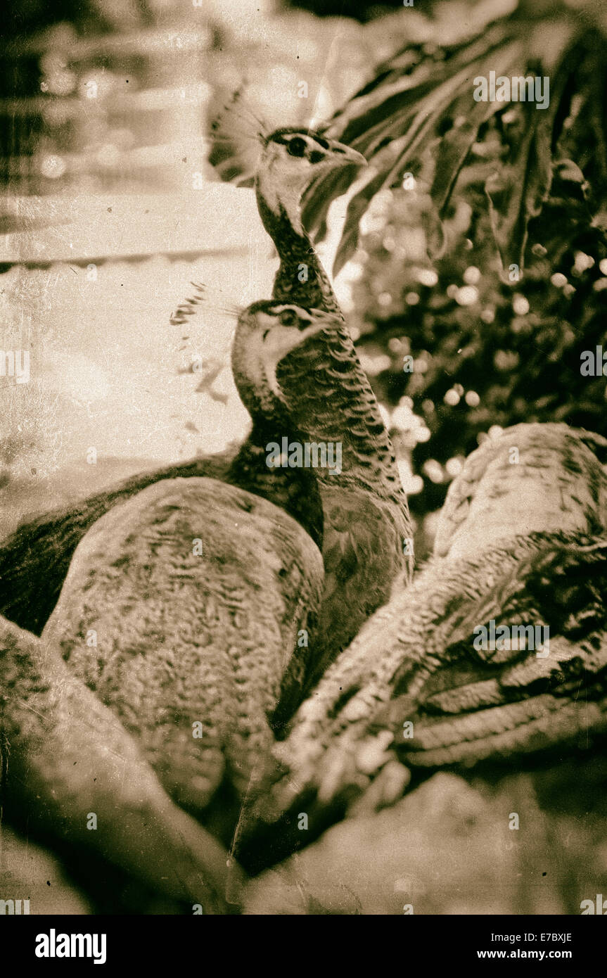 Image of a flock of peahens, finished in a antiqued wet plate technique. - Stock Image