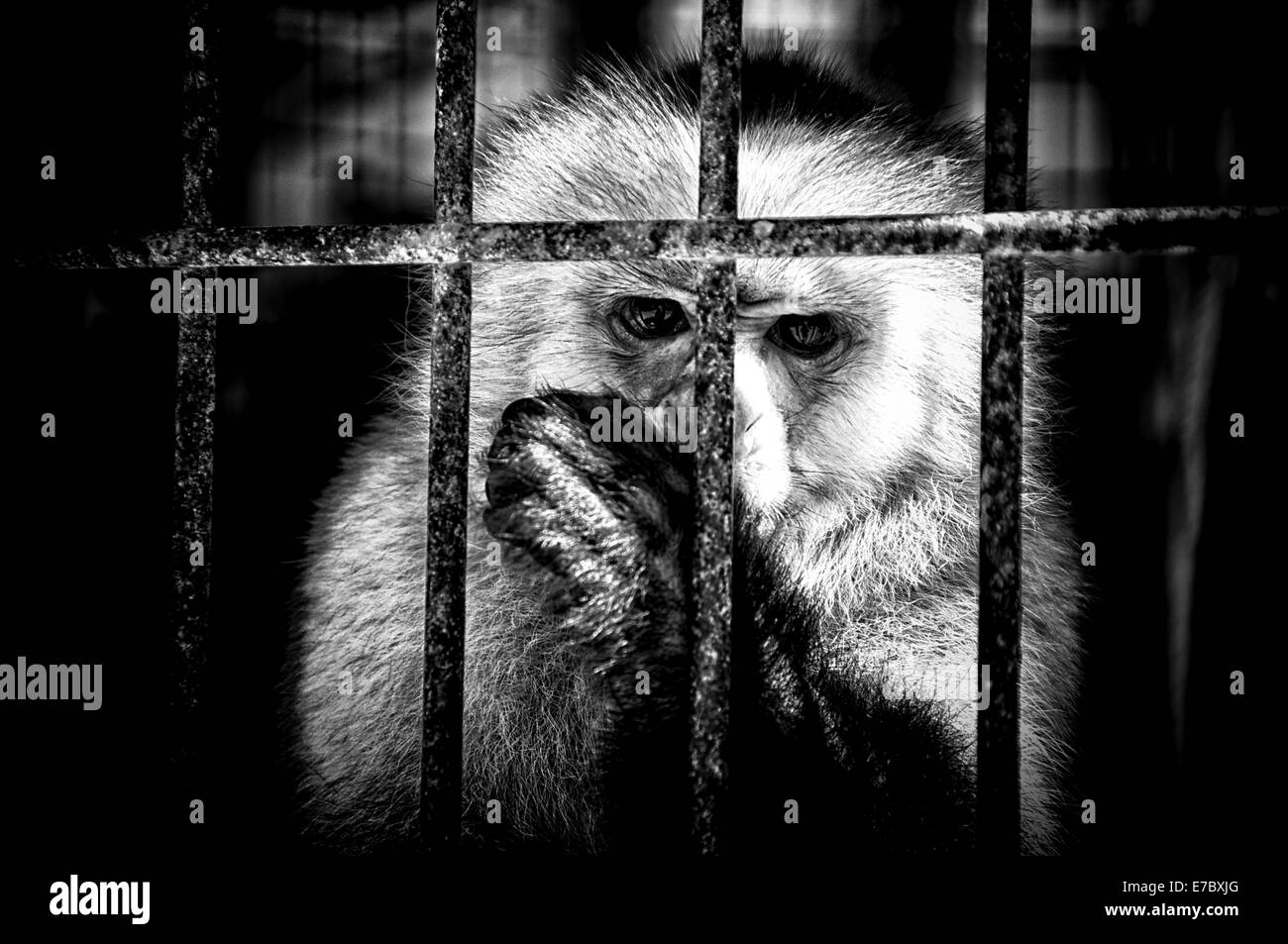 Black and white image of a monkey in a cage sucking its thumb looking at viewer. - Stock Image