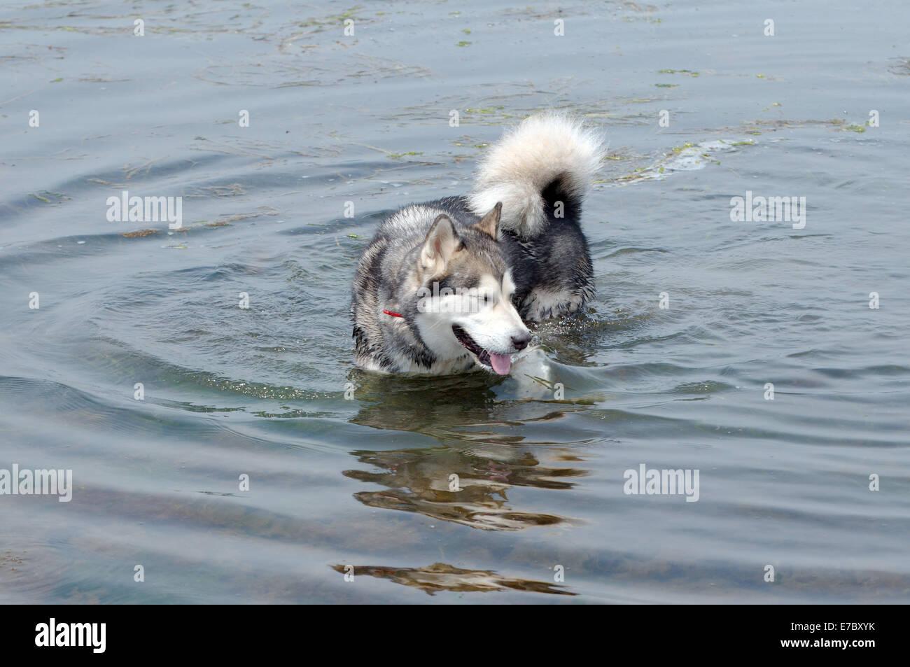 Alaskan Malamute (Canis lupus familiaris)  swims in the Sea of Japan, Vladivostok, Far East Russia - Stock Image