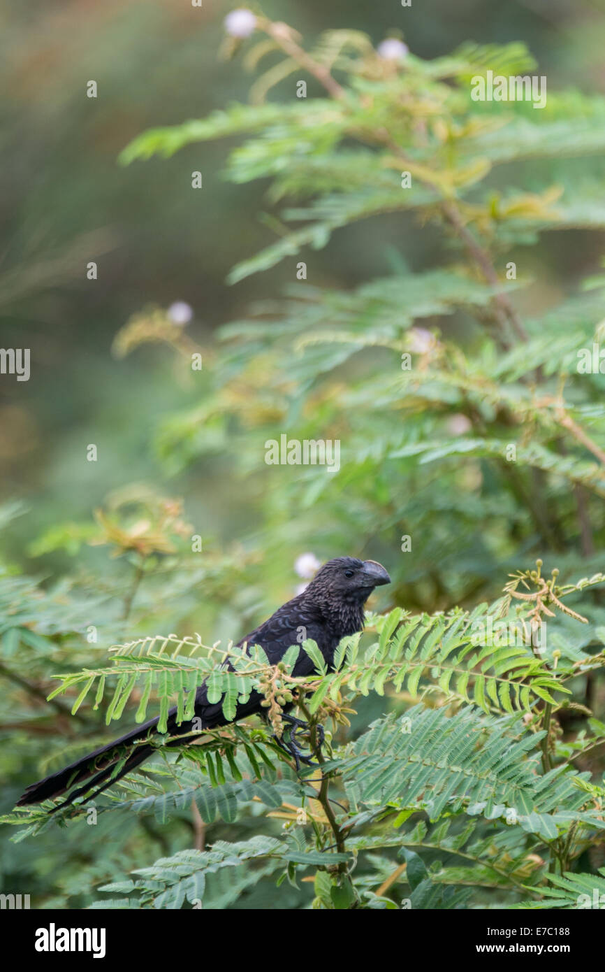Groove-billed ani - Stock Image