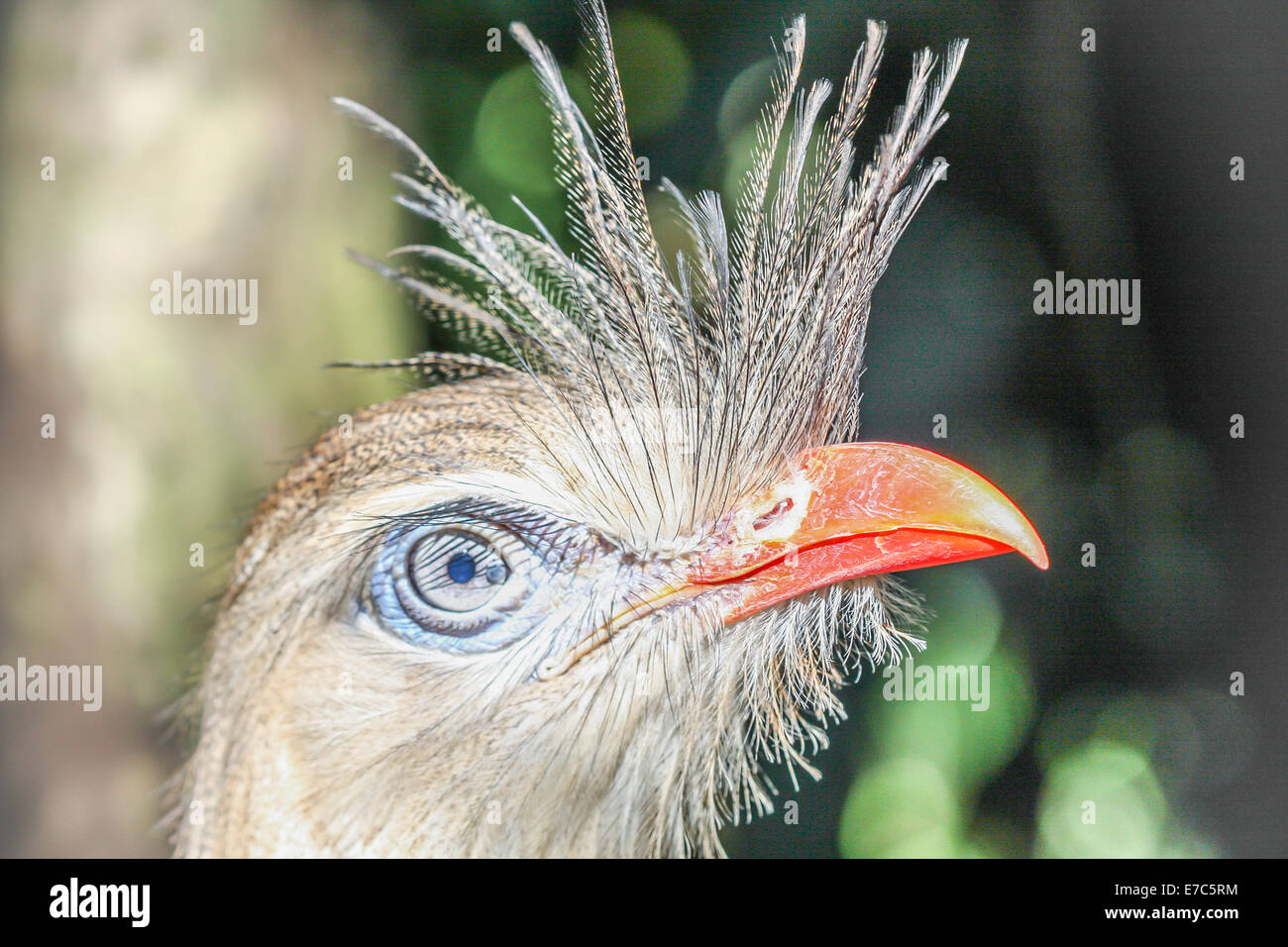 Crested bird - Face of a bird with an orange beak and feather crest Stock Photo