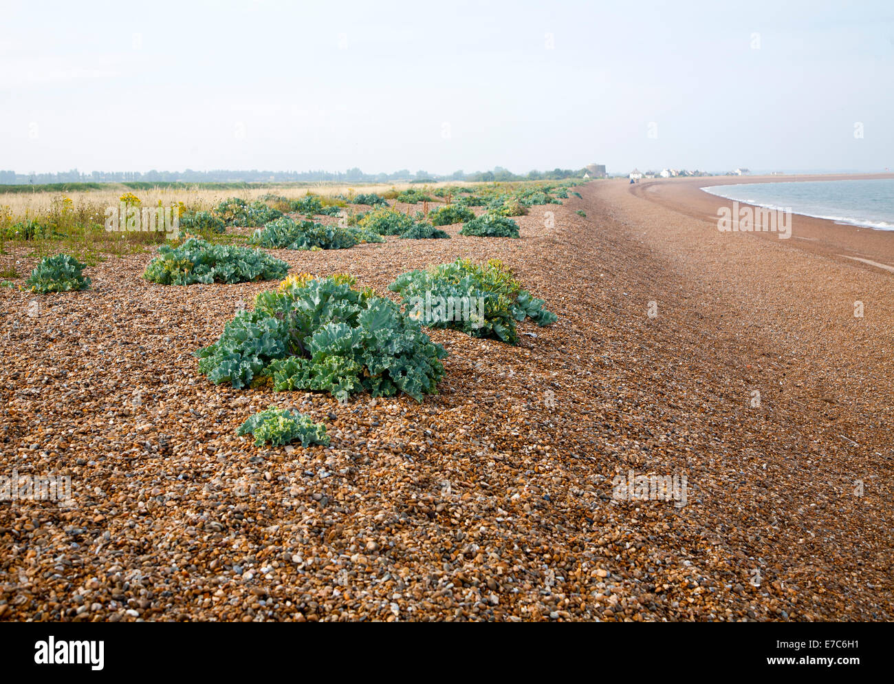 Vegetated shingle ecosystem with sea kale, Crambe maritime, growing at Shingle Street, Suffolk, England - Stock Image