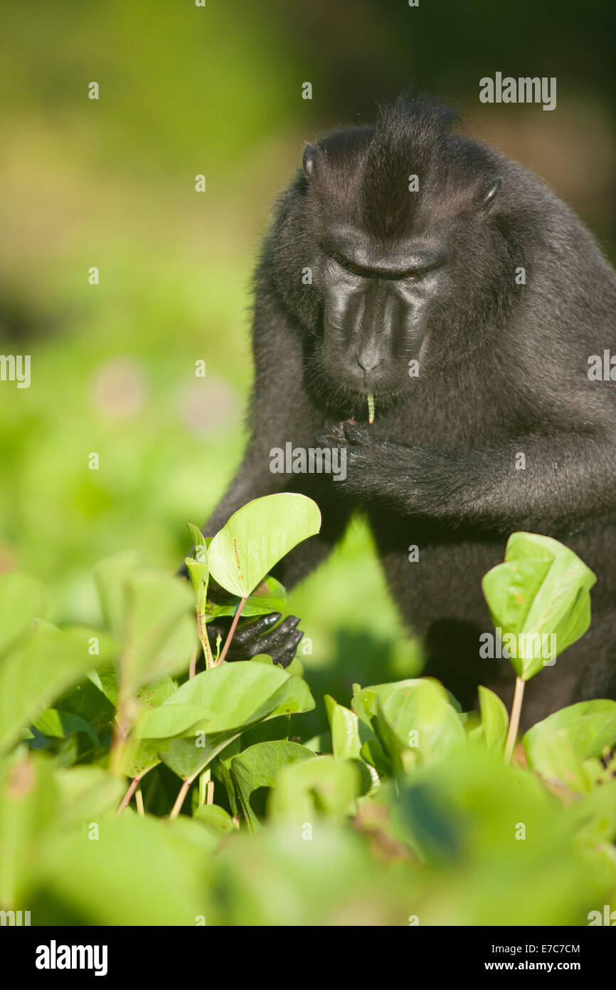 Black crested macaque searching for breakfast - Stock Image