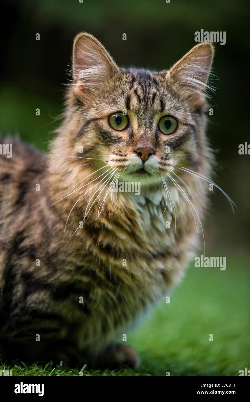 A munchkin cat - Stock Image