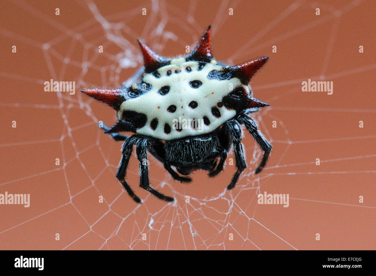 This is a spiny orb weaver, or scientifically called Gasteracantha, found in Myrtle Beach, South Carolina. - Stock Image