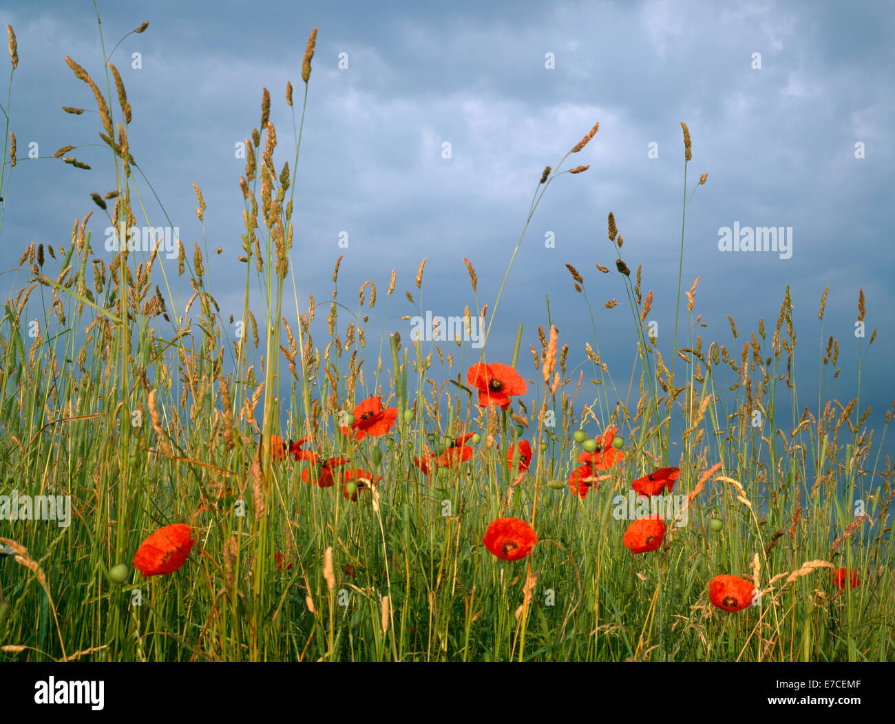 Wild Growing Grasses Stock Photos & Wild Growing Grasses Stock ...