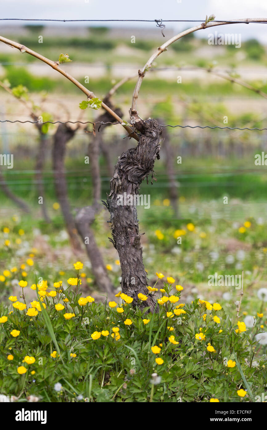 Vine with flower at summertime, Pfalz, Germany Stock Photo