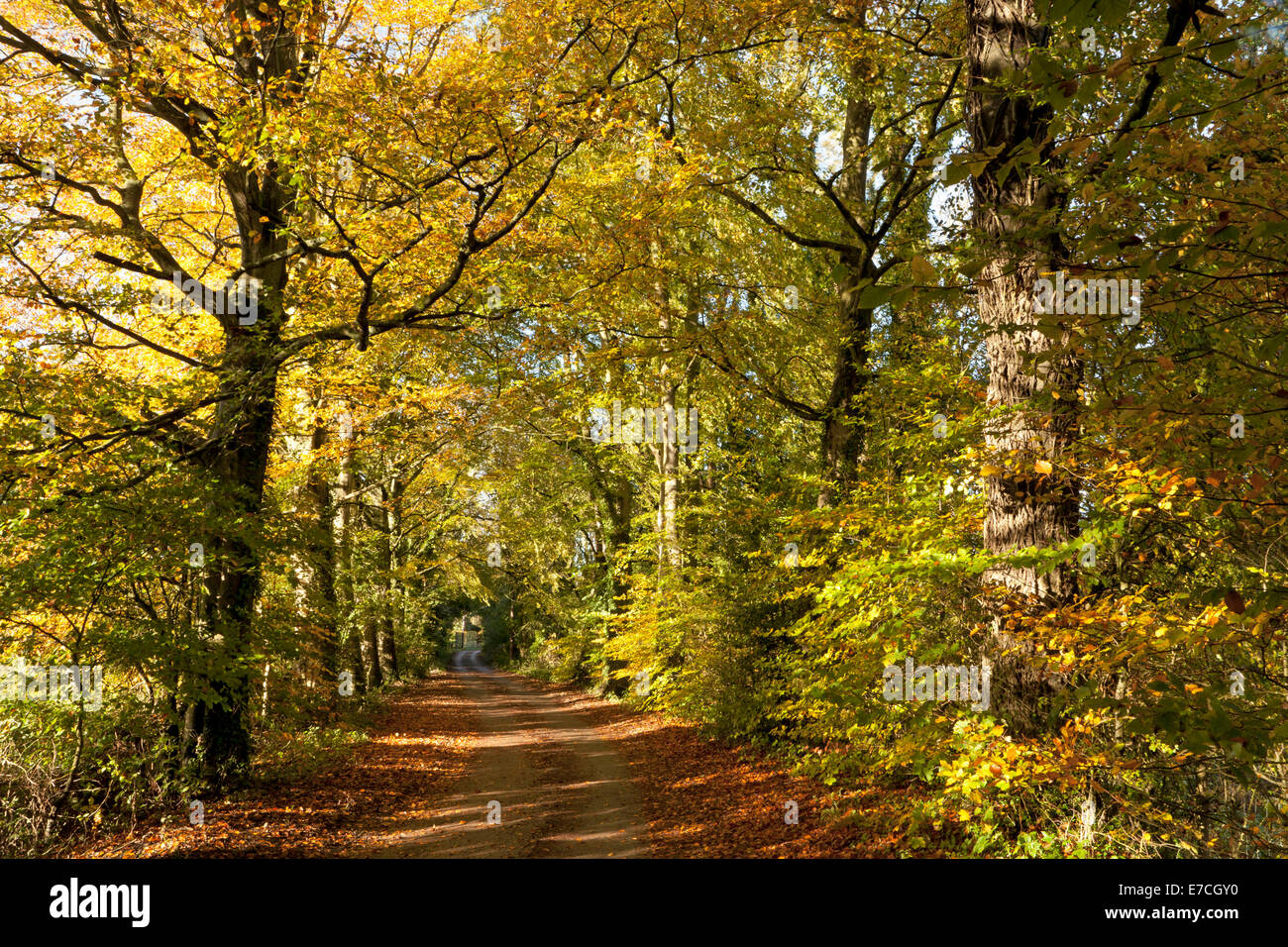 Autumn sunlight in a wooded lane at Berwick St. James in Wiltshire, England. - Stock Image