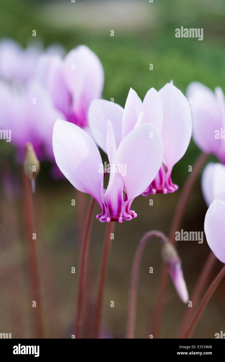 Cyclamen hederifolium 'Lysander' growing in a protected environment. - Stock Image