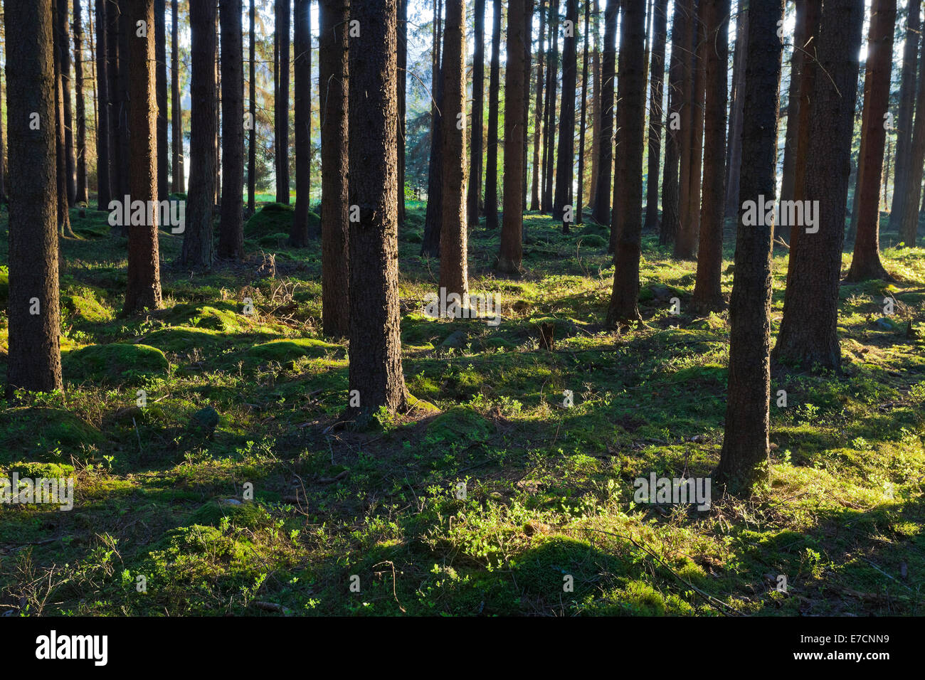 The primeval forest with mossed ground - Stock Image