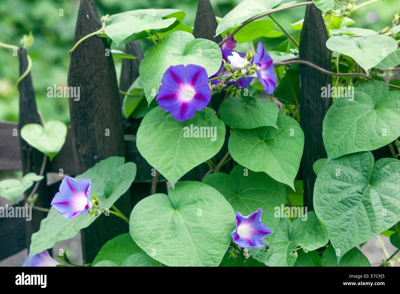 Morning Glory, Ipomoea purpurea - Stock Image
