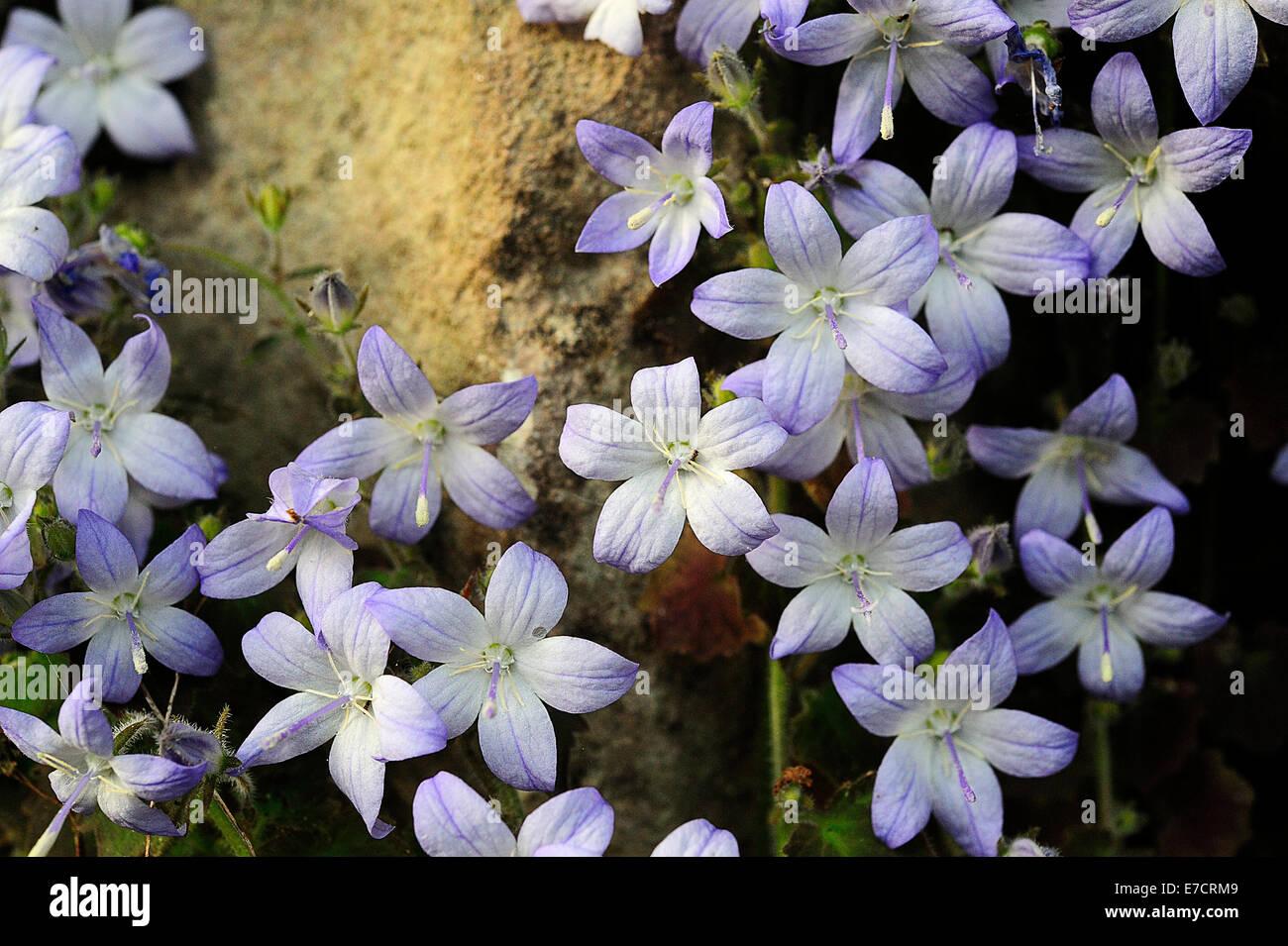 Adriatic bellflower Campanula garganica, Campanulaceae, Gargano National Park, Puglia, Italy R - Stock Image