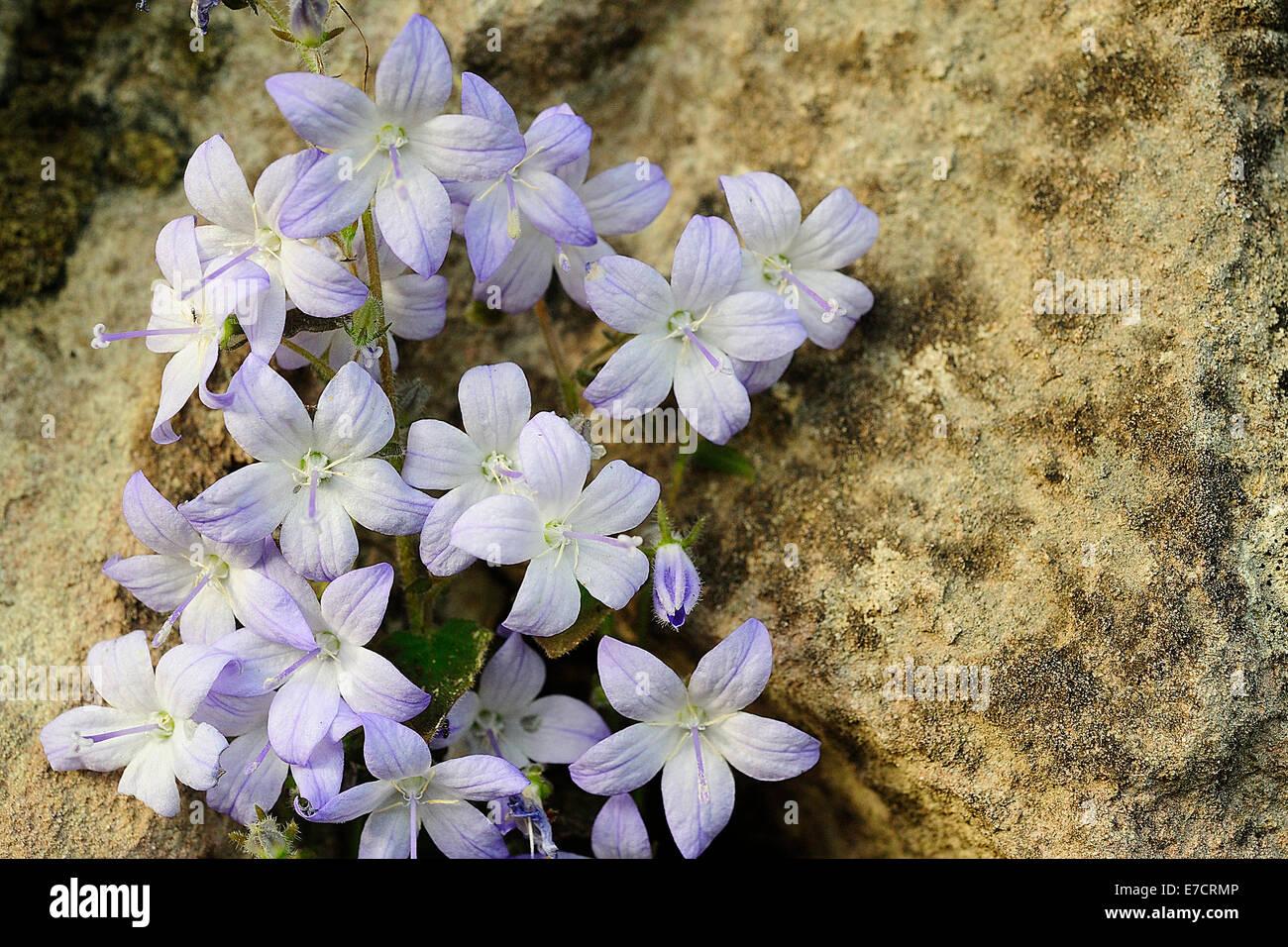 Adriatic bellflower Campanula garganica, Campanulaceae, Gargano National Park, Puglia, Italy - Stock Image