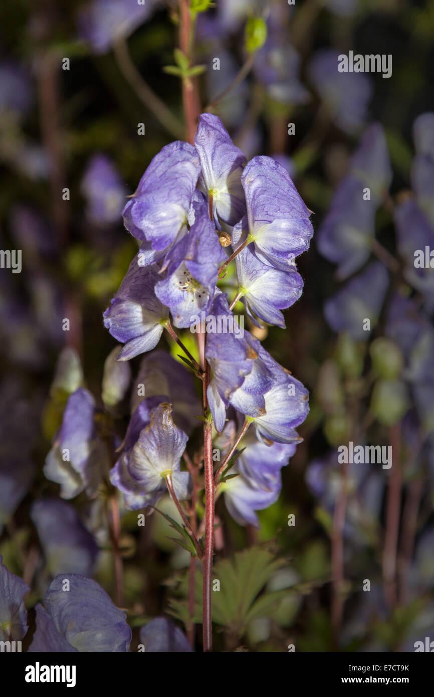 Poisonous Perennials _Blue-Violet Violet/Lavende Flowering Monkshood Aconitum carmichaelii 'Spatlese' - Stock Image