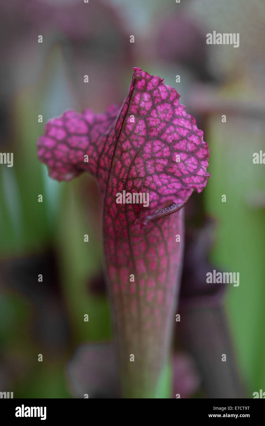 """Close-up of North American Sarracenia purple pitcher or """"trumpet pitchers"""" carnivorous plant with funnel to collect insects. Stock Photo"""