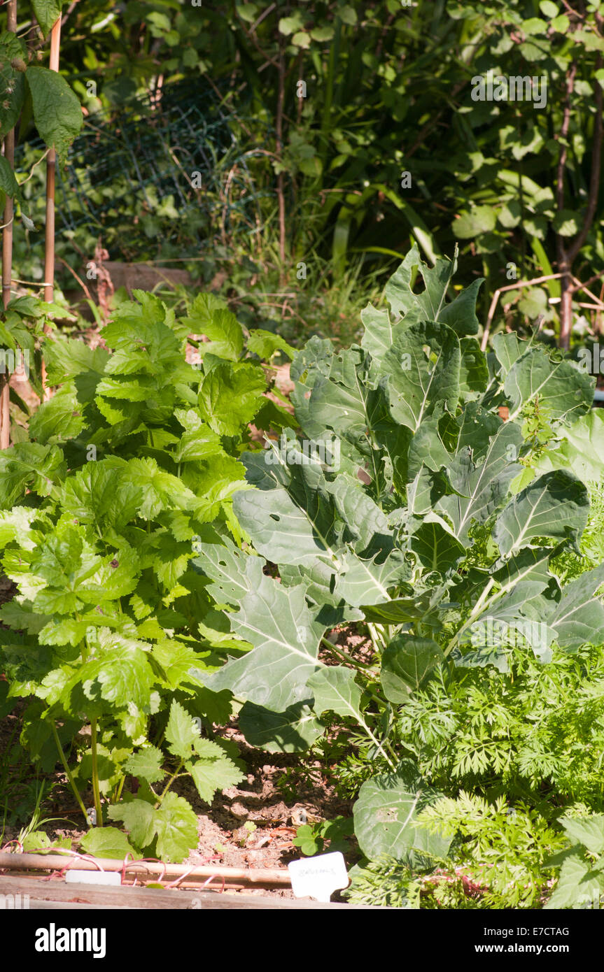 Vegetables Growing In a Garden Vegetable Plot - Stock Image