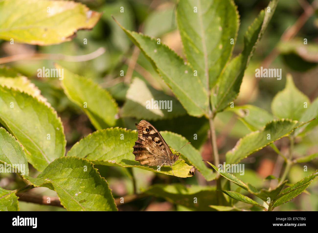 The Speckled Wood Butterfly Pararge Aegeria british Butterflies - Stock Image