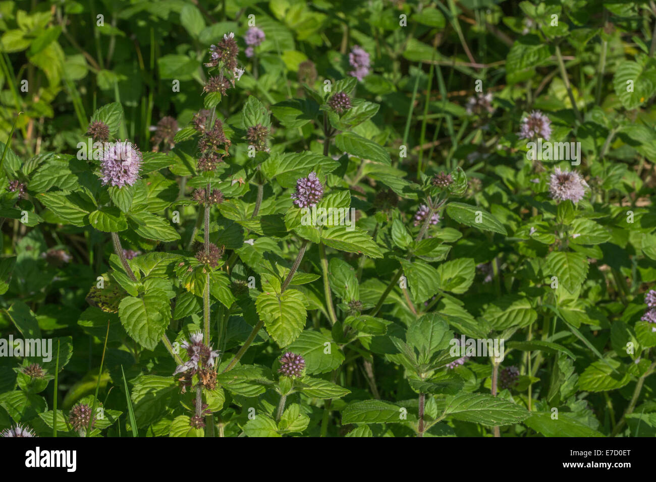 Water Mint / Mentha aquatica growing in marshy meadow ground. Foraging and dining on the wild concept. Riverside Stock Photo