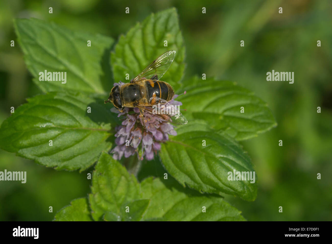 Bee foraging for nectar on Water Mint / Mentha aquatica growing in marshy meadow ground. Foraging and dining on Stock Photo