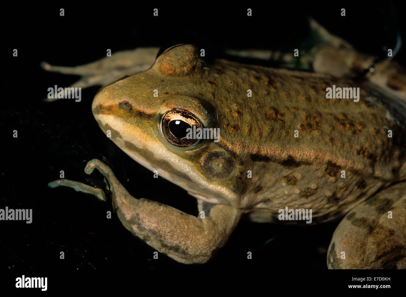 Green frog Rana esculenta, Ranidae, Amphibia, Anura, Formello, Lazio, Italy - Stock Image