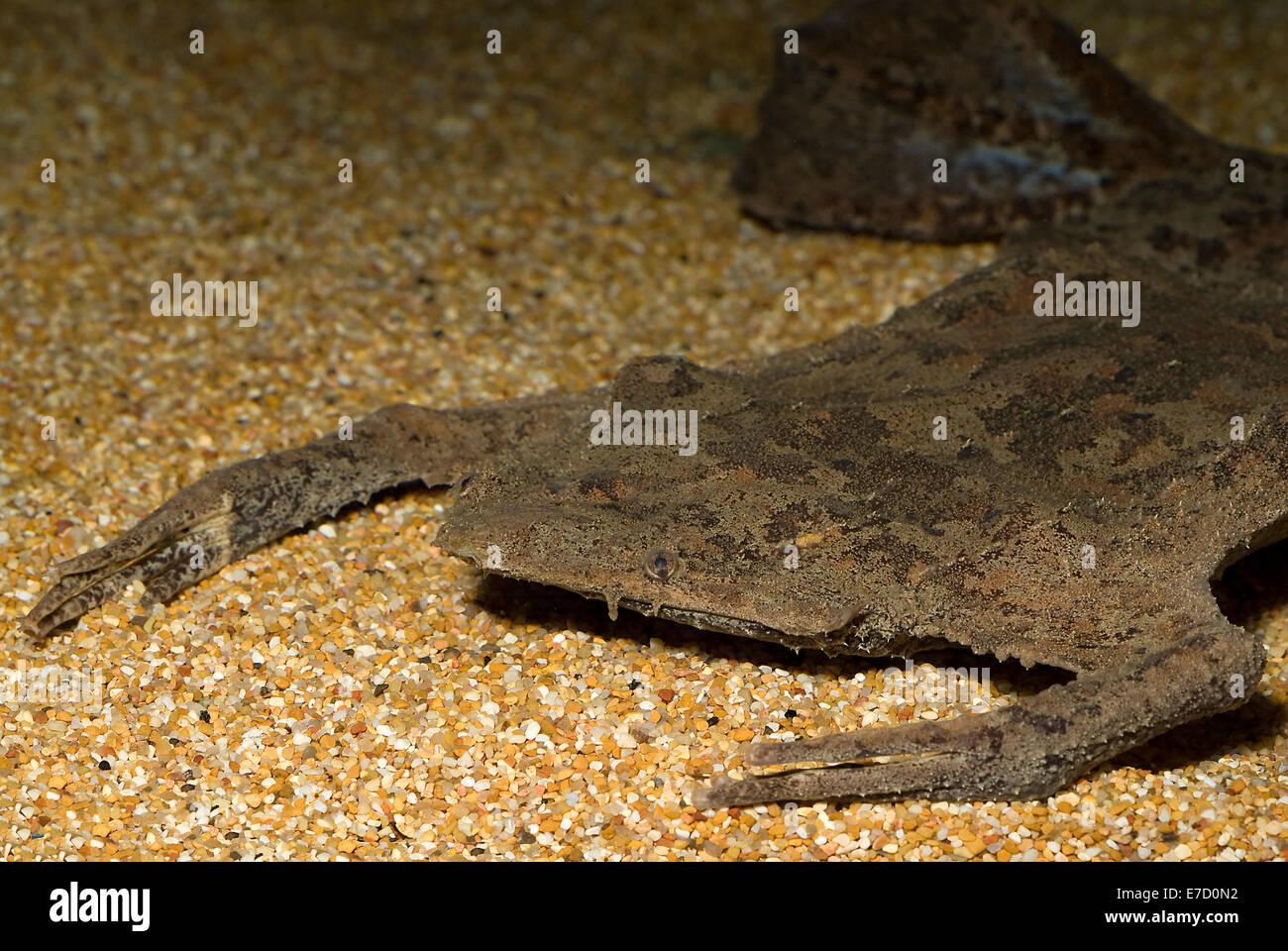 Common Suriname toad, Pipa pipa, Pipidae, South America - Stock Image