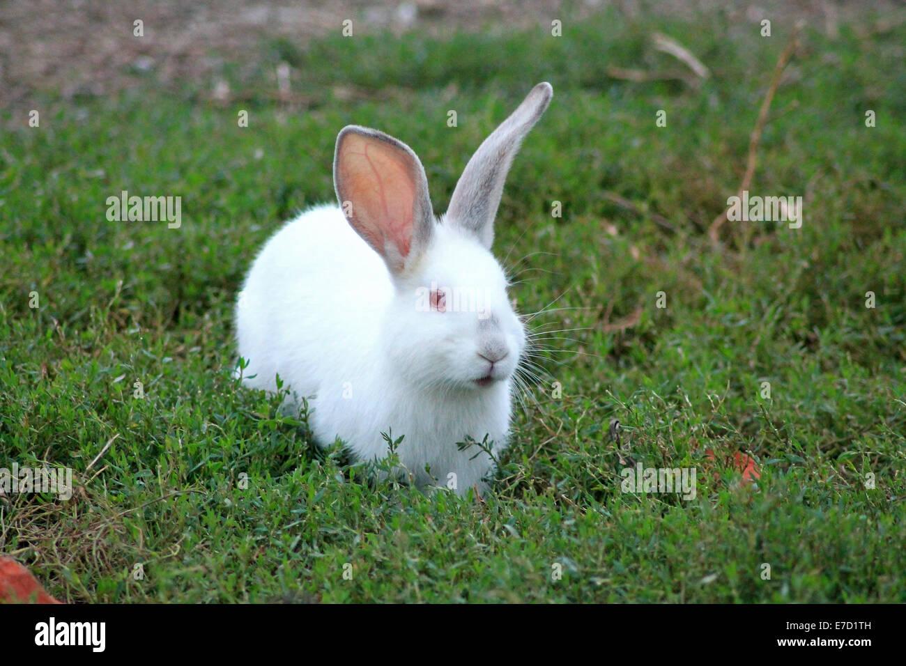 White rabbit - Stock Image