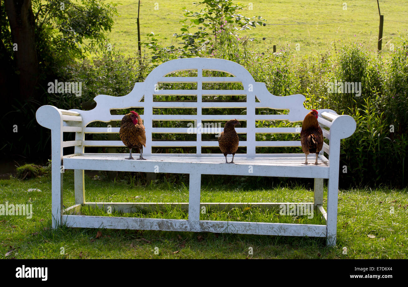 Three chickens on a bench - Stock Image