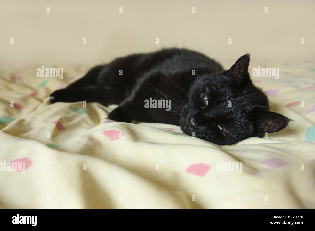 A sleepy cat just barely awake on a bed - Stock Image