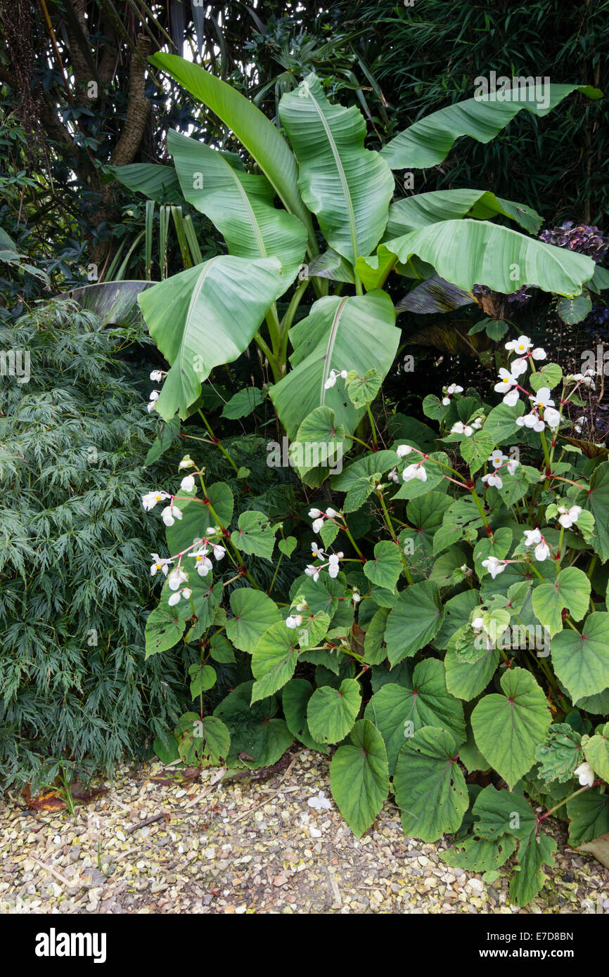 Corner of an exotic Plymouth garden with  Musa basjoo, Acer palmatum dissectum and Begonia grandis var. evansiana - Stock Image