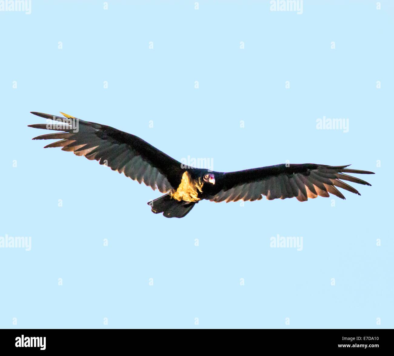 Turkey Vulture (Cathartes aura), turkey buzzard, genus Cathartes, family Cathartidae, flying against a cobalt blue - Stock Image