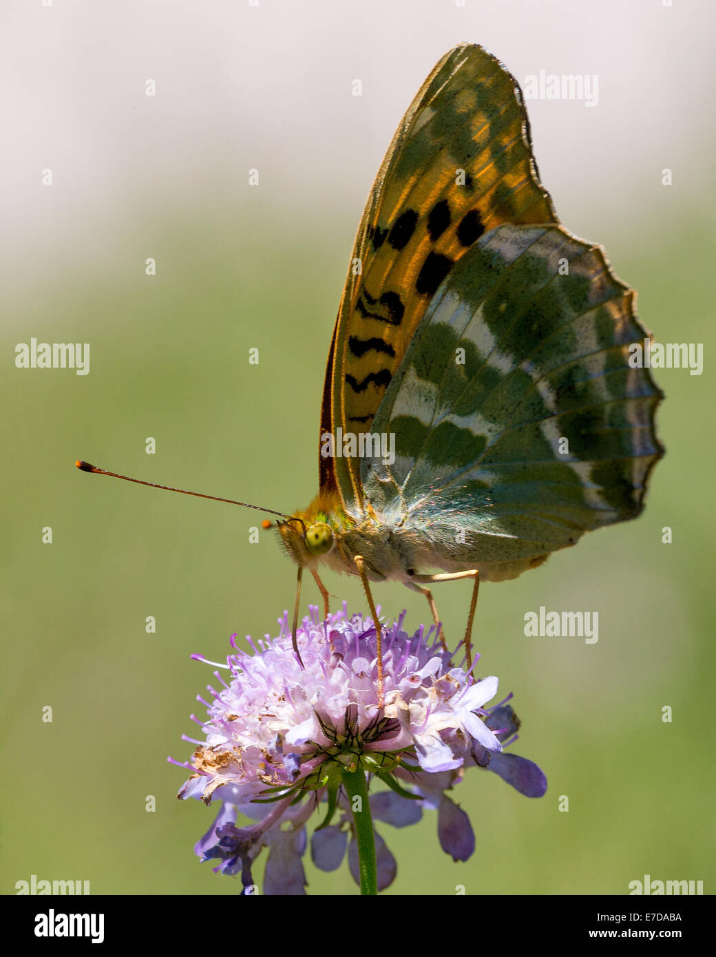A Silver-washed Fritillary butterfly (Argynnis paphia) nectaring in afternoon sun on scabious in the Combe de Caray - Stock Image