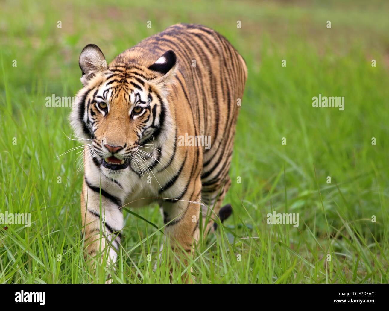 Tiger in jungle with selective focus Stock Photo