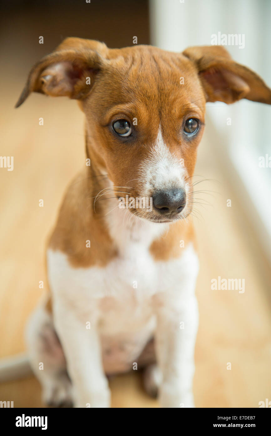 Mixed breed puppy - Stock Image