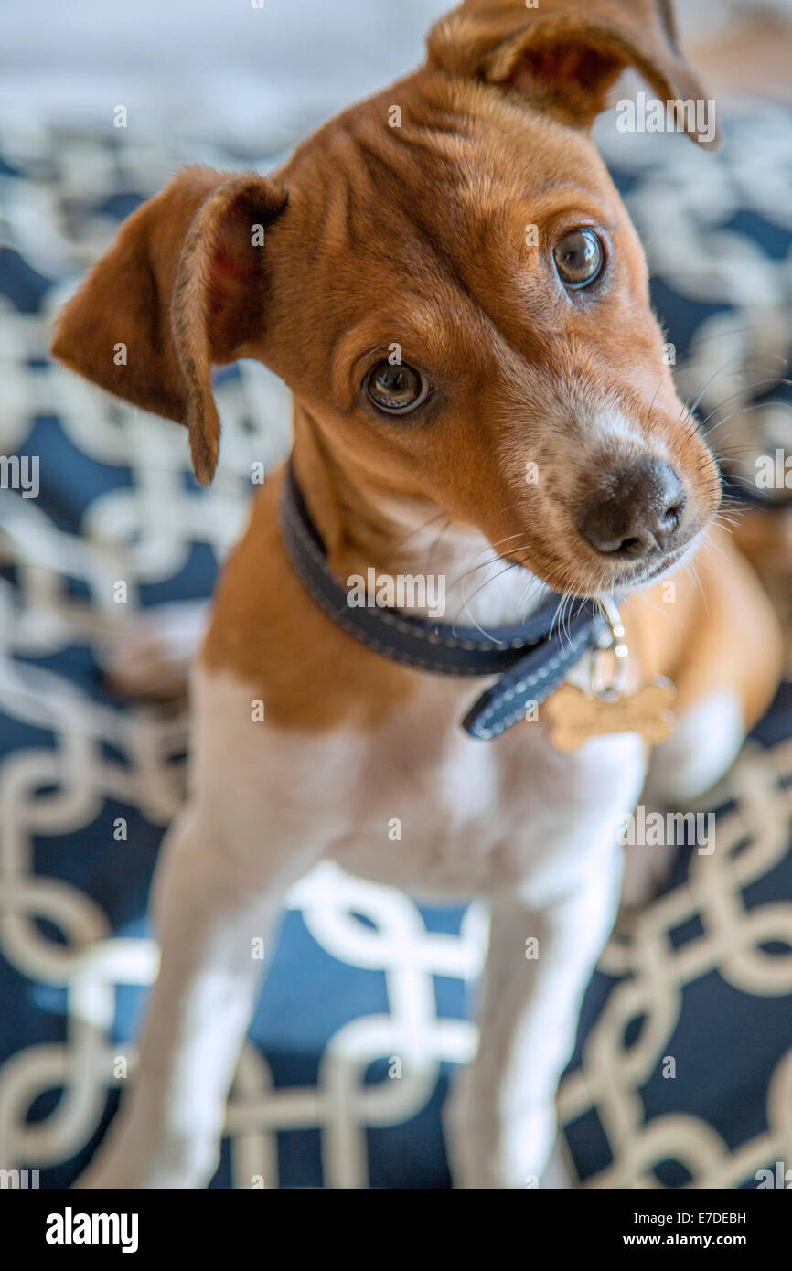 Cross breed puppy - Stock Image
