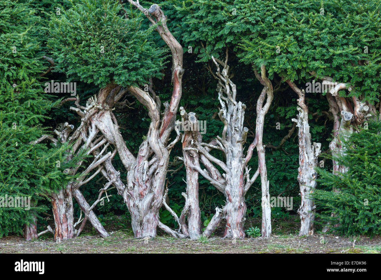 An old yew hedge cut hard back to allow it to regenerate - Stock Image