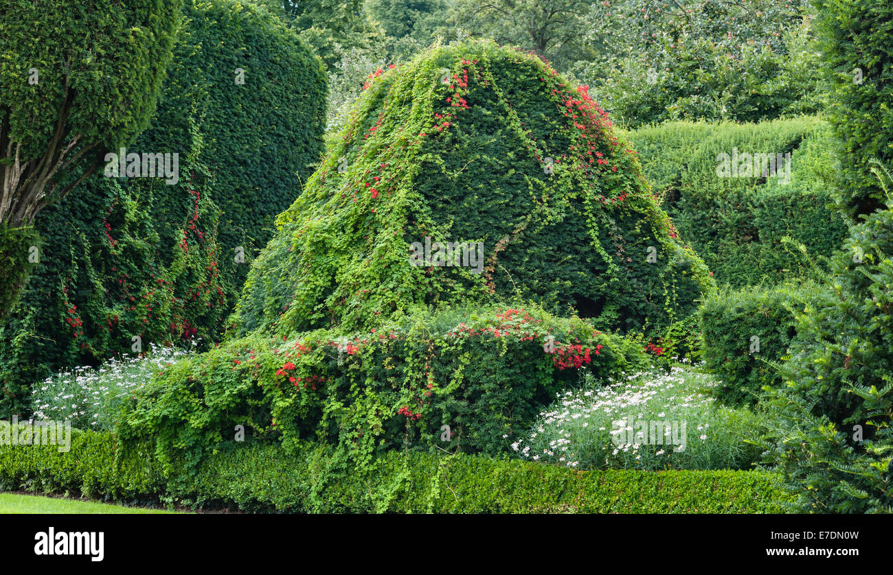 Levens Hall, Cumbria, UK. Tropaeolum speciosum (Scottish flame flower) growing through one of the many clipped yews - Stock Image