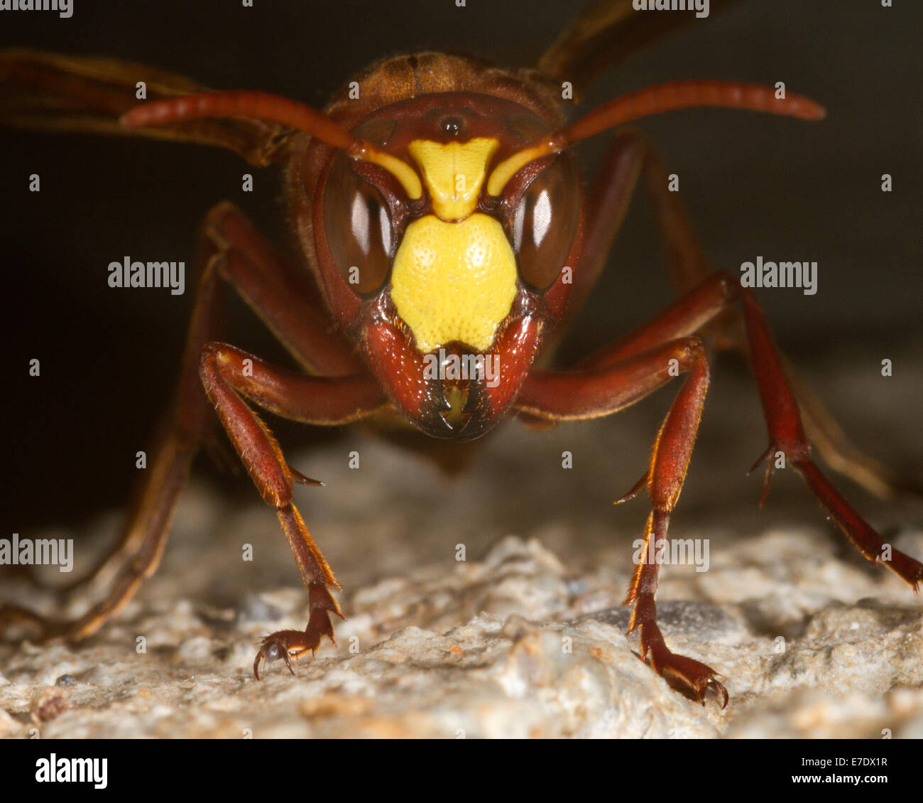 Hornet peering out from crack in a stone wall - Stock Image