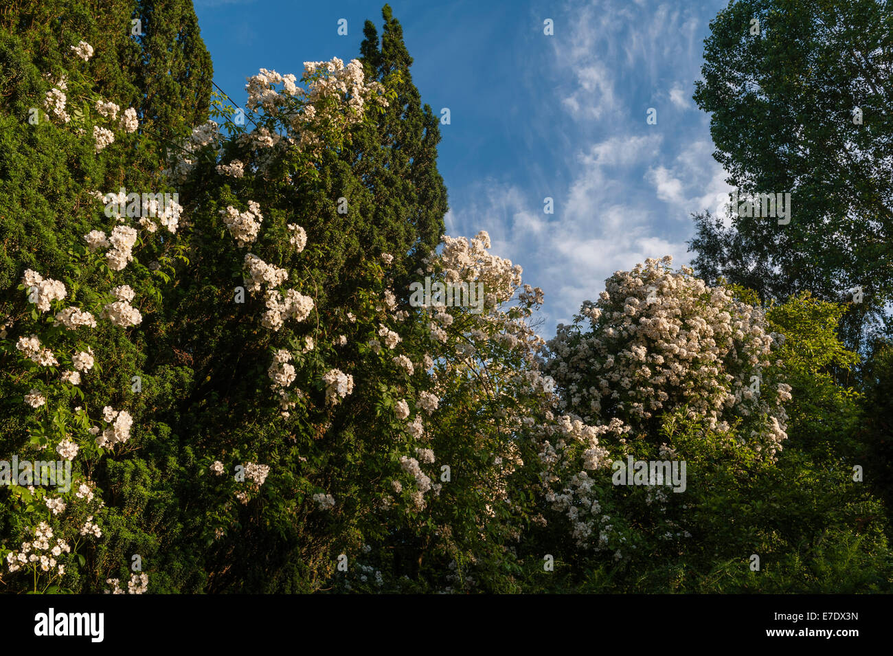 A vigorous white rambling rose (rosa 'Rambling Rector') scrambles over old trees in an English garden in - Stock Image